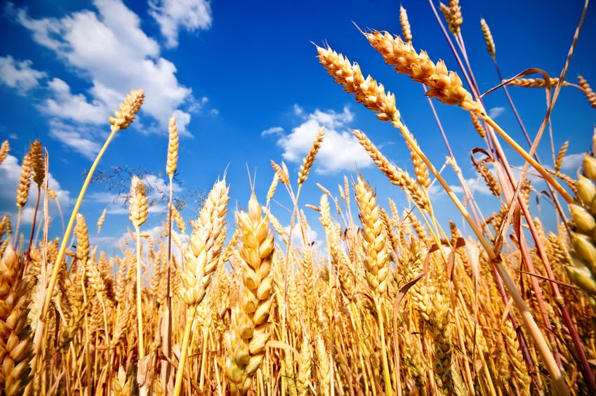 Ripe wheat standing in a field. The Pharisees objected when the disciples picked grain for themselves on the Sabbath.